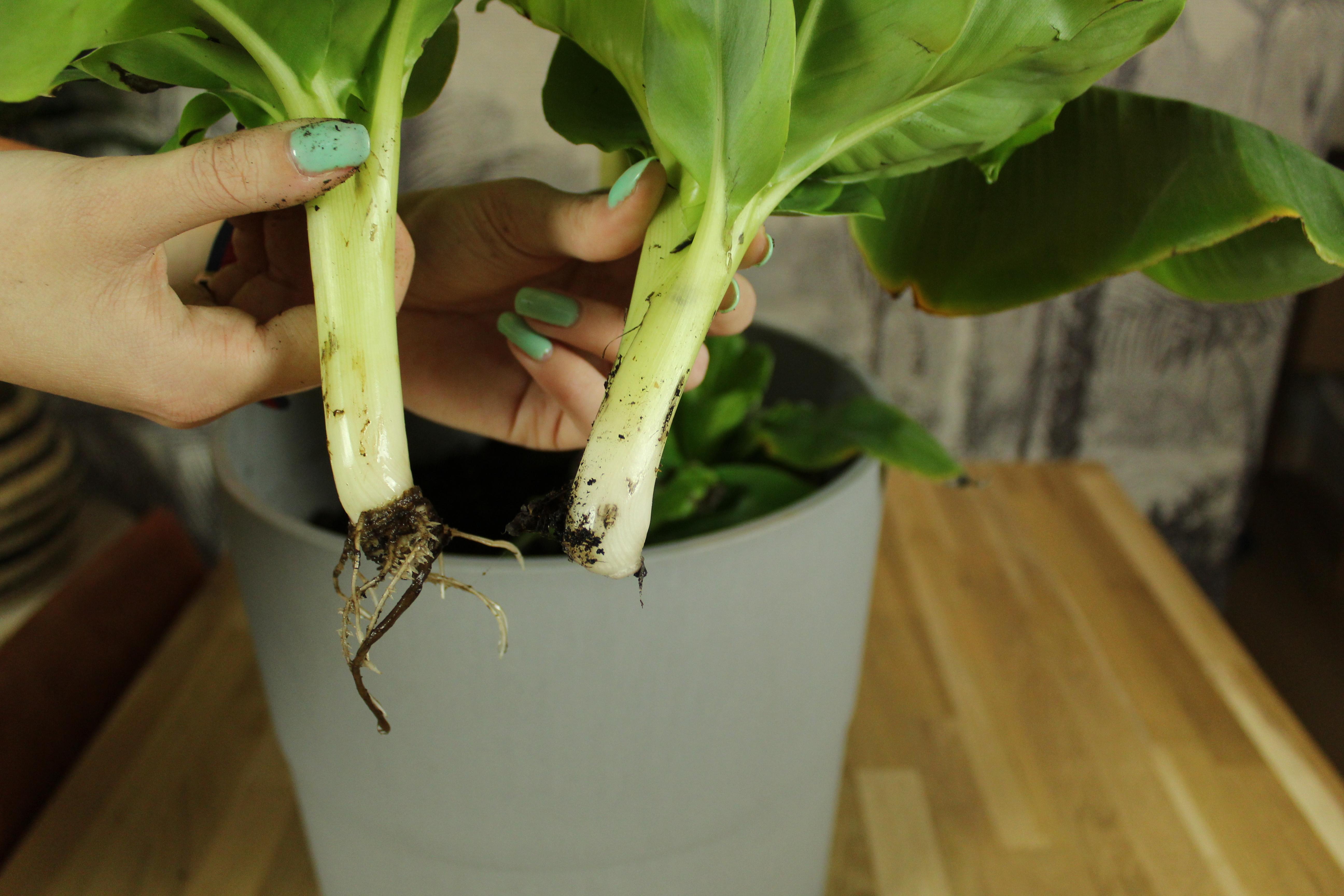 twee stekjes bananenplant