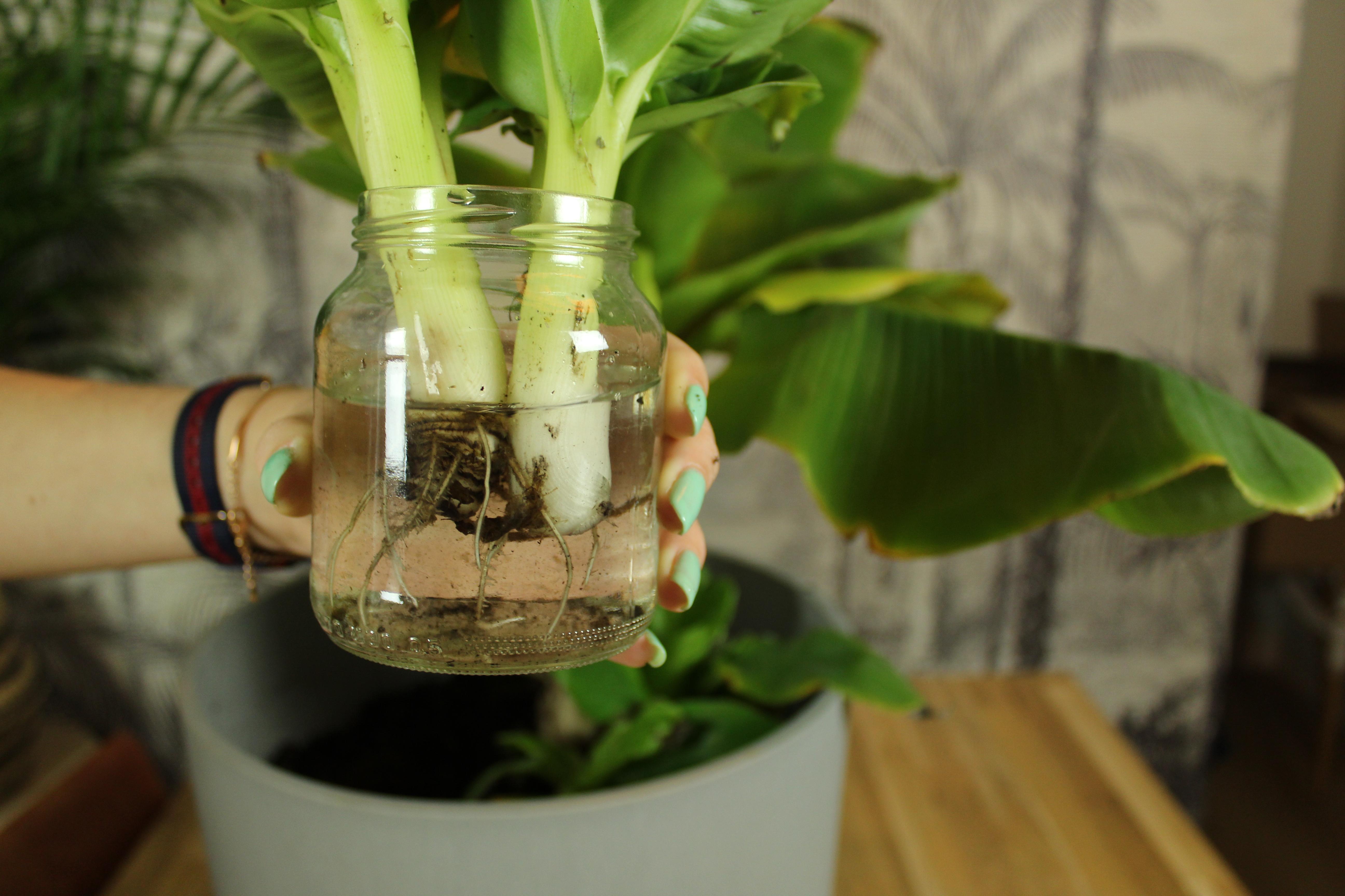 Stekjes bananenplant in potje met water