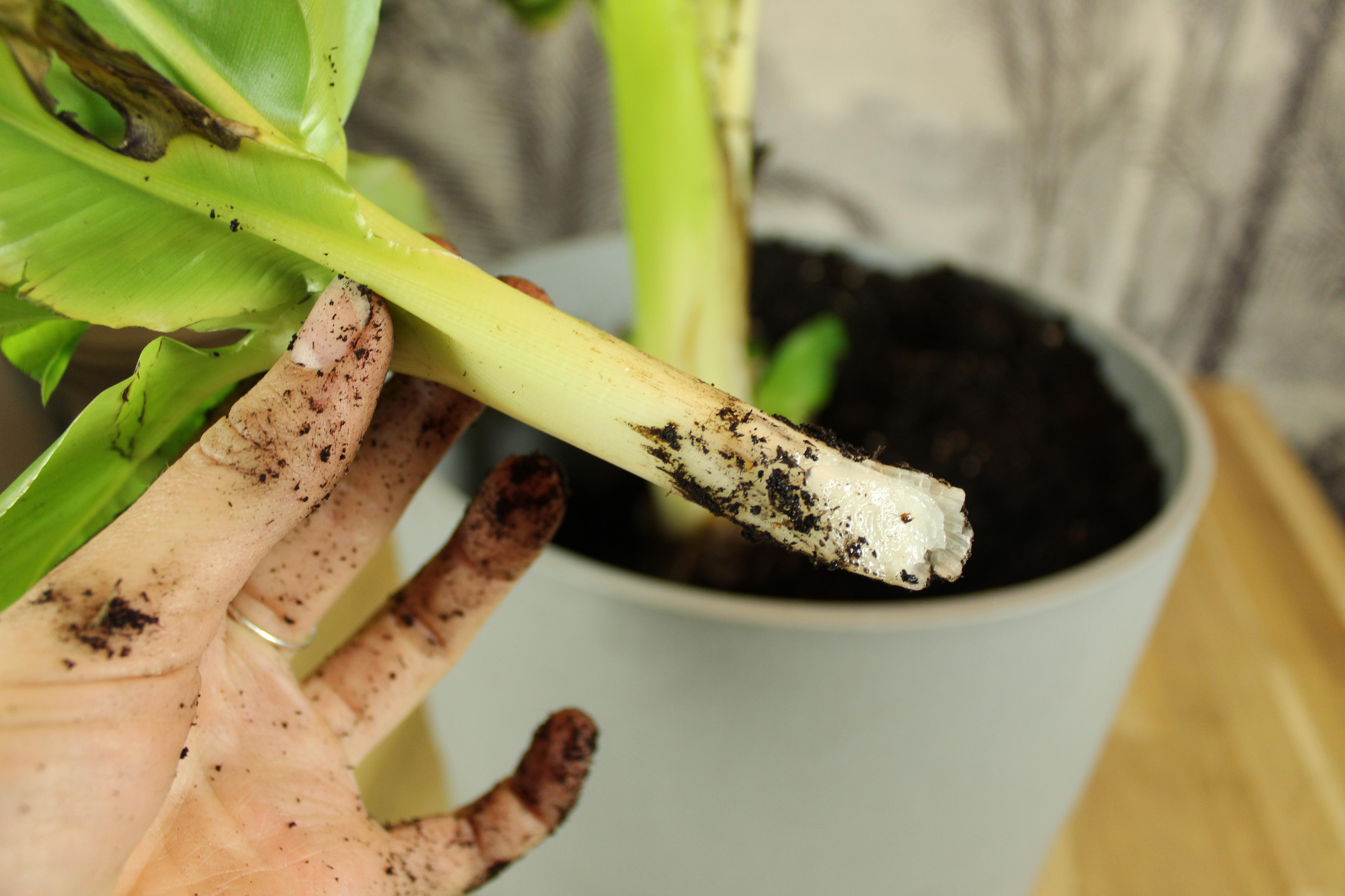 Stekje bananenplant
